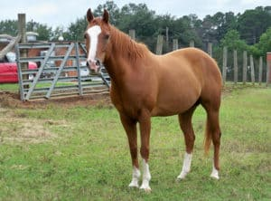 Despite not being a registered breed the Grade Horse can often have a strong pedigree