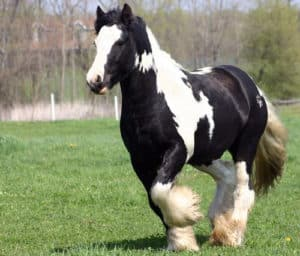 The Gypsy Vanner's distinctive color makes it a popular breed