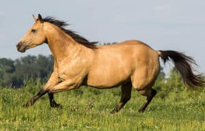 The Quarter Horse is amongst one of the cheapest horse breeds to buy