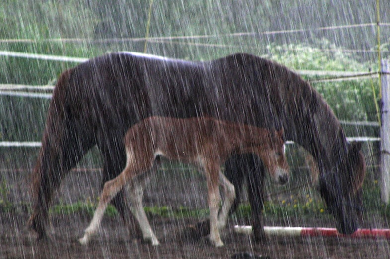 Can horse's live outside during a rain storm?